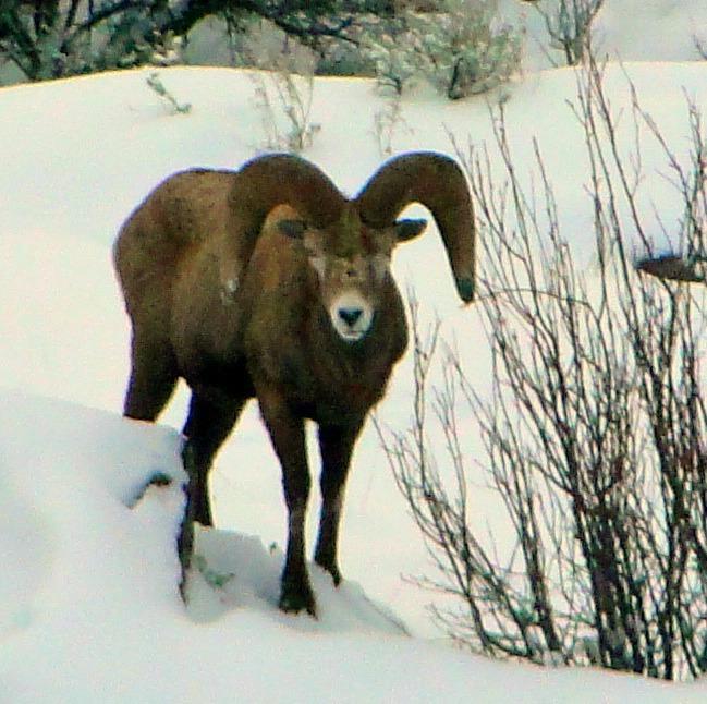 Bighorn Sheep22