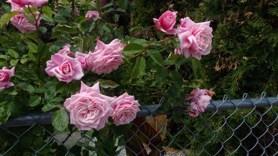 roses doris22